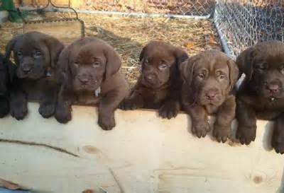 six-lab-puppies-400x273