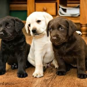 lab puppies coffee club
